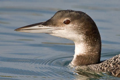 Common Loon Photo @ Kiwifoto.com