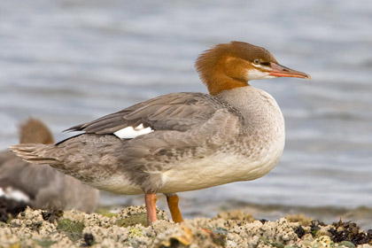 Common Merganser Image @ Kiwifoto.com
