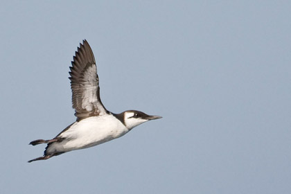 Common Murre Image @ Kiwifoto.com