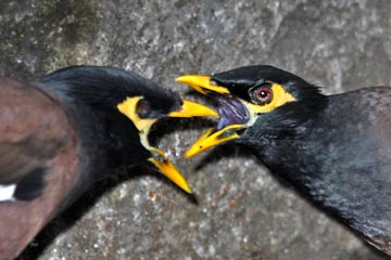 Common Myna Picture @ Kiwifoto.com