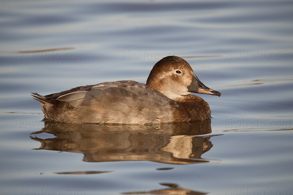 Common Pochard Picture @ Kiwifoto.com