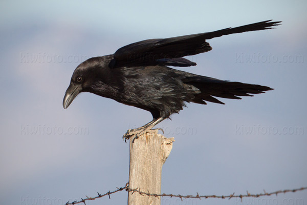 Common Raven Image