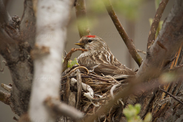 Common Redpoll Photo @ Kiwifoto.com