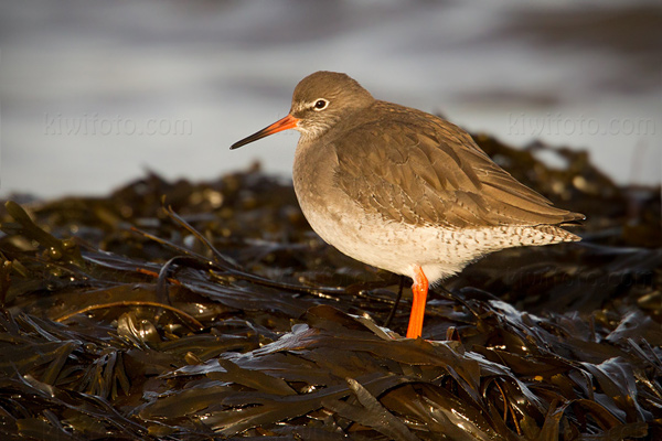 Common Redshank Photo @ Kiwifoto.com
