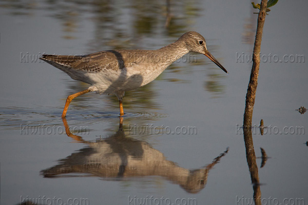 Common Redshank Image @ Kiwifoto.com
