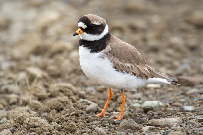 Common Ringed Plover Picture @ Kiwifoto.com