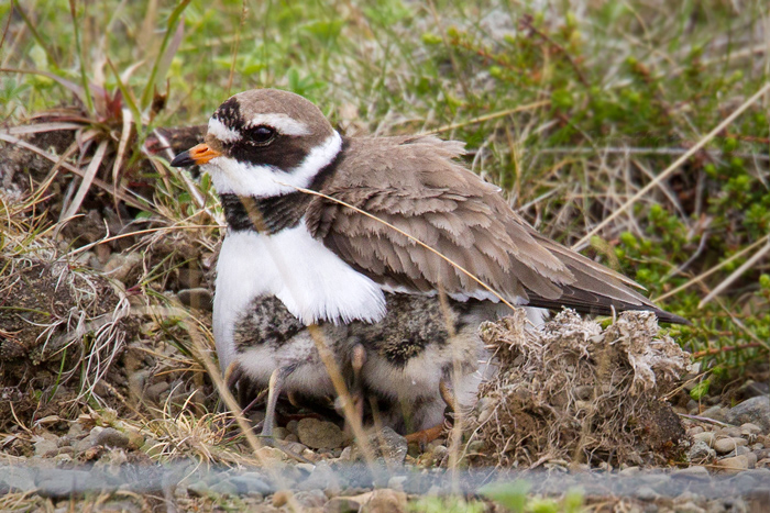 Common Ringed Plover Photo @ Kiwifoto.com
