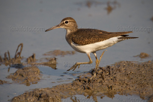 Common Sandpiper Image