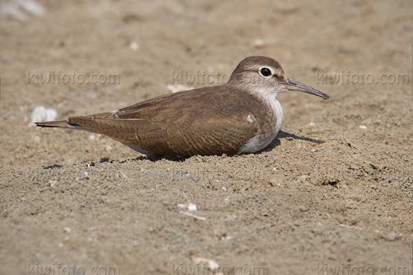 Common Sandpiper Picture @ Kiwifoto.com