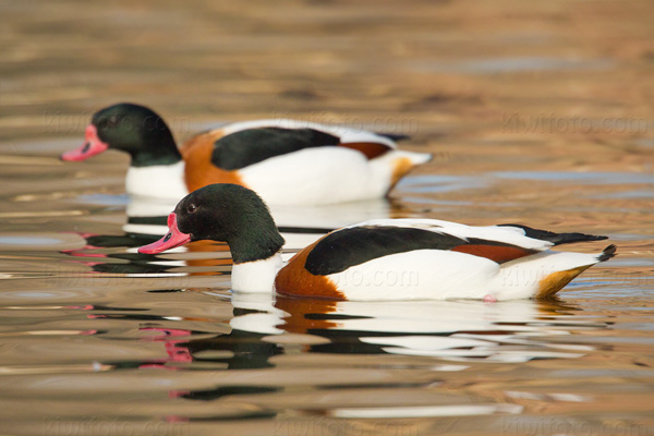 Common Shelduck Image @ Kiwifoto.com