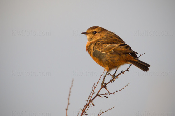 Common Stonechat Photo @ Kiwifoto.com
