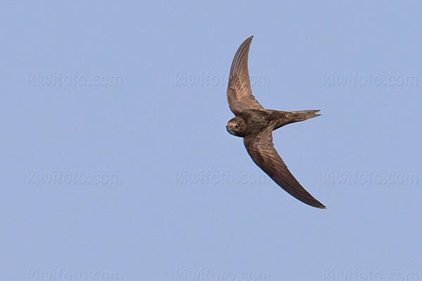 Common Swift @ Formentera Island, Ibiza, Balearic Islands, Spain