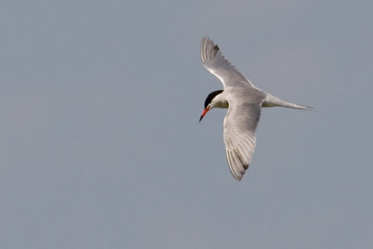 Common Tern Picture @ Kiwifoto.com