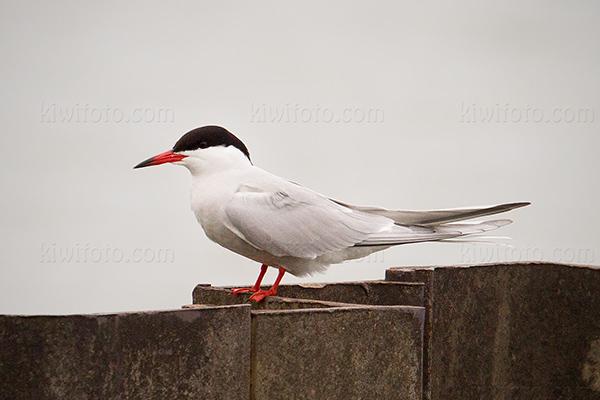 Common Tern @ Magee Marsh (Crane Creek), OH