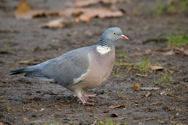 Common Wood-pigeon Image @ Kiwifoto.com