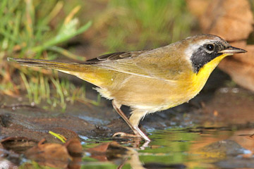 Common Yellowthroat Picture @ Kiwifoto.com