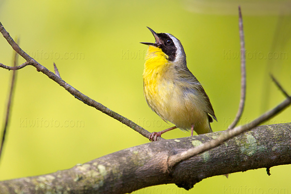 Common Yellowthroat Photo @ Kiwifoto.com