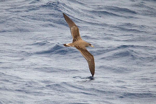 Cory's Shearwater Photo @ Kiwifoto.com