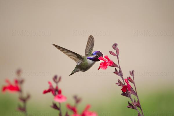 Costa's Hummingbird @ UCR Botanical Gardens, Riverside, CA