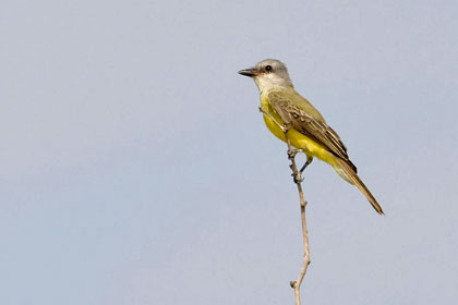 Couch's Kingbird Photo
