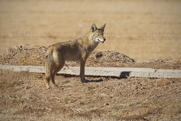 Coyote Photo @ Kiwifoto.com