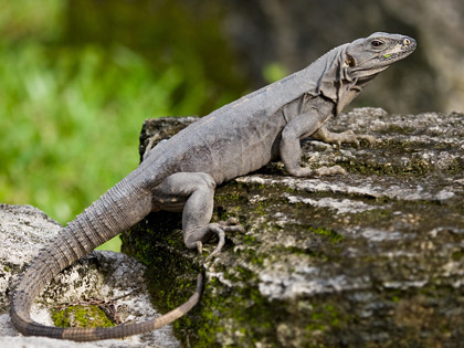 Cozumel Iguana Photo @ Kiwifoto.com