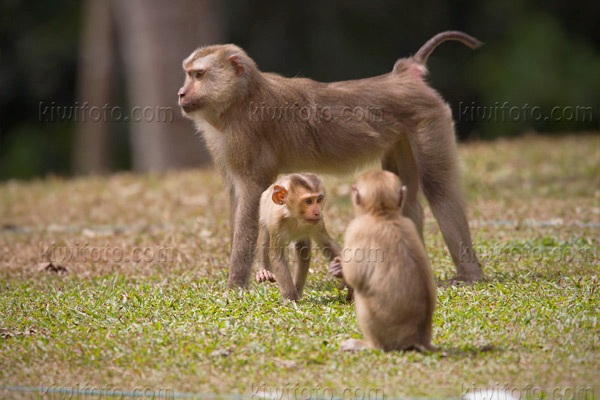 Crab Eating Macaque Picture @ Kiwifoto.com