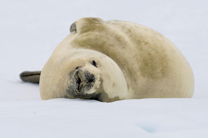 Crabeater Seal Picture