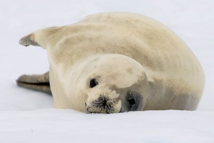 Crabeater Seal Photo @ Kiwifoto.com