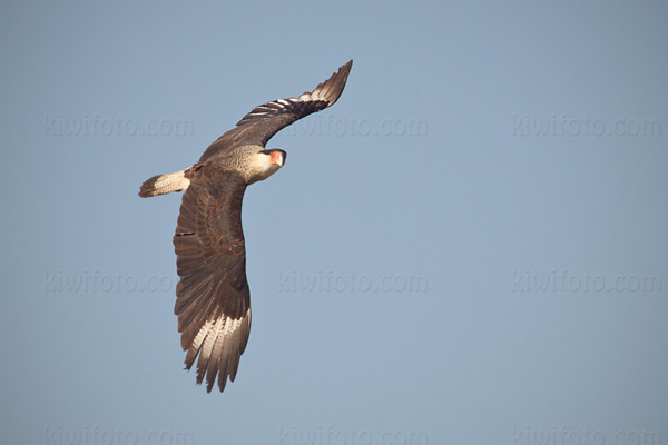 Crested Caracara Photo @ Kiwifoto.com