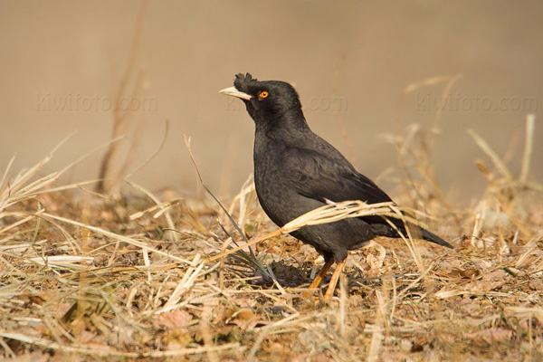 Crested Myna Photo @ Kiwifoto.com