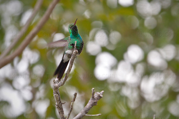 Cuban Emerald Photo @ Kiwifoto.com