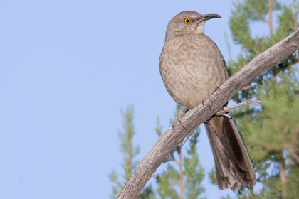 Curve-billed Thrasher Picture @ Kiwifoto.com