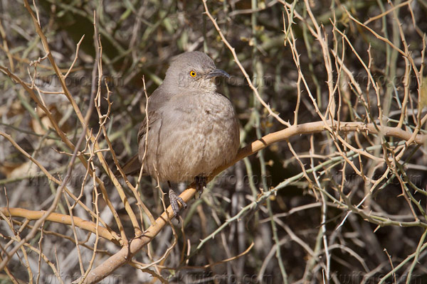 Curve-billed Thrasher Photo @ Kiwifoto.com