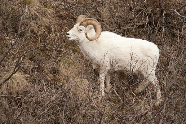 Dall Sheep Photo @ Kiwifoto.com