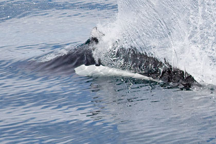 Dall's Porpoise Photo @ Kiwifoto.com