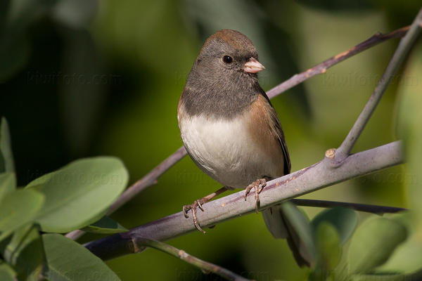 Dark-eyed Junco Photo @ Kiwifoto.com