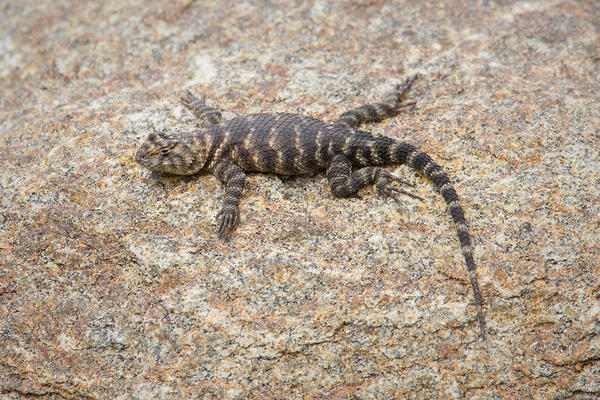 Desert Spiny Lizard Photo @ Kiwifoto.com