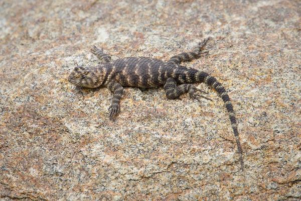 Desert Spiny Lizard @ UCR Botanical Gardens, Riverside, CA