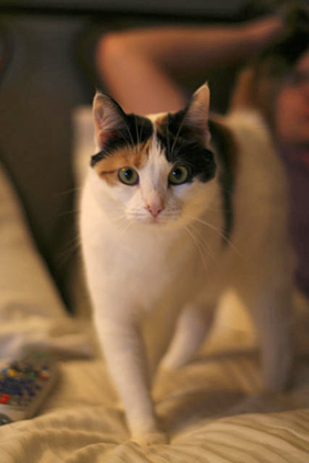 Domestic Cat (Kali Calico)