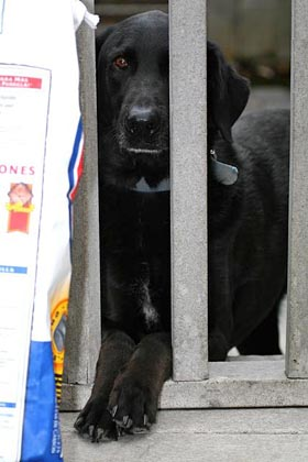 Domestic Dog (Blu Black Labrador)