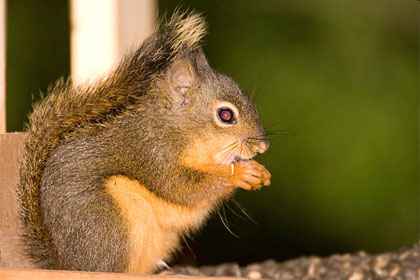 Douglas Squirrel Picture @ Kiwifoto.com