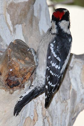 Downy Woodpecker Photo @ Kiwifoto.com