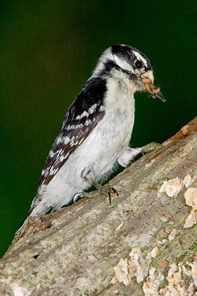 Downy Woodpecker Picture @ Kiwifoto.com
