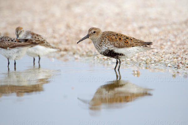 Dunlin @ Salt Creek, Salton Sea, CA