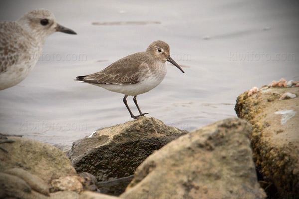 Dunlin Photo @ Kiwifoto.com