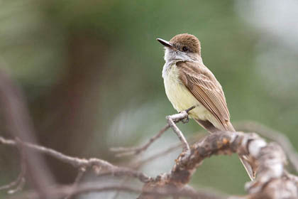 Dusky-capped Flycatcher Image