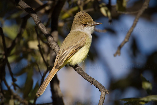 Dusky-capped Flycatcher Picture