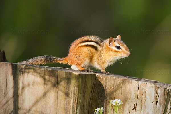 Eastern Chipmunk Photo @ Kiwifoto.com
