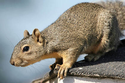 Eastern Fox Squirrel Image @ Kiwifoto.com